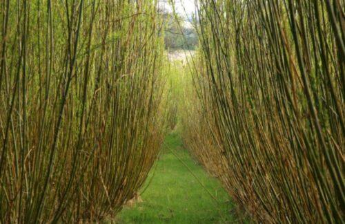 Salix solsbovilt
